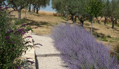Russian Sage planted alongside a path in our Abruzzo Garden - and a Buddleja 'Black Knight'