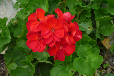 No Italian garden is complete without a Pelargonium
