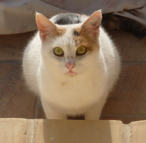 Sweetie - our calico cat