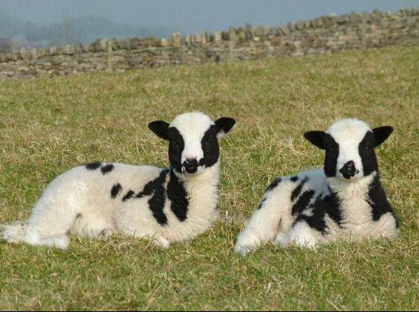 Jacob Sheep. Or to be more accurate - Jacob Lambs