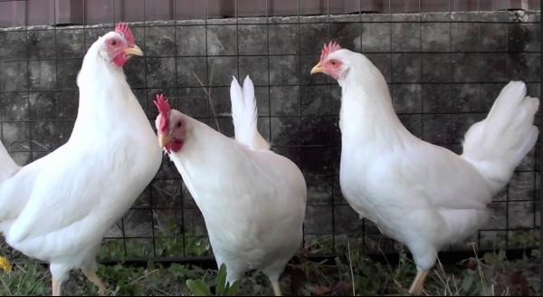 Leghorn chickens