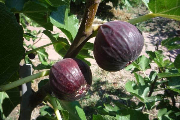 Figs - a personal favourite