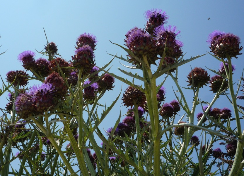The cardoon is a relative of the artichoke