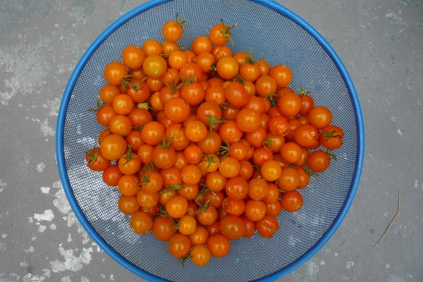 Delcious, sweet cherry tomatoes