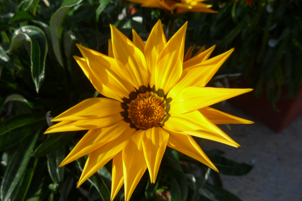 Gazania is a colourful addition to your summer planting scheme